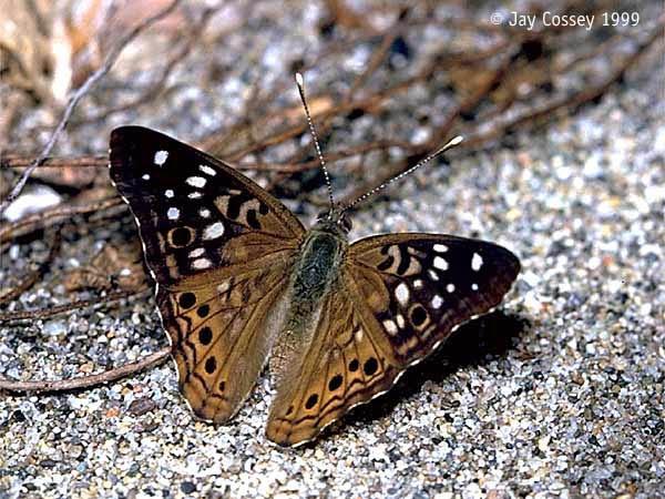 Hackberry Emperor - Male - Point Pelee - National Park - Leamington - Ontario