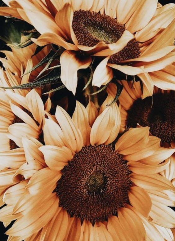 Sunflower close ups