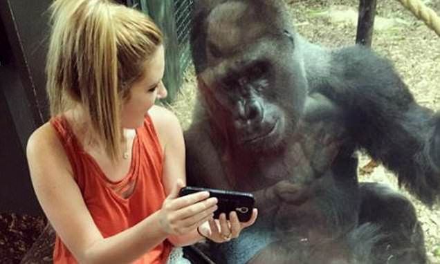 Woman sits with Louisville Zoo gorilla, shows him videos of baby apes #DailyMail