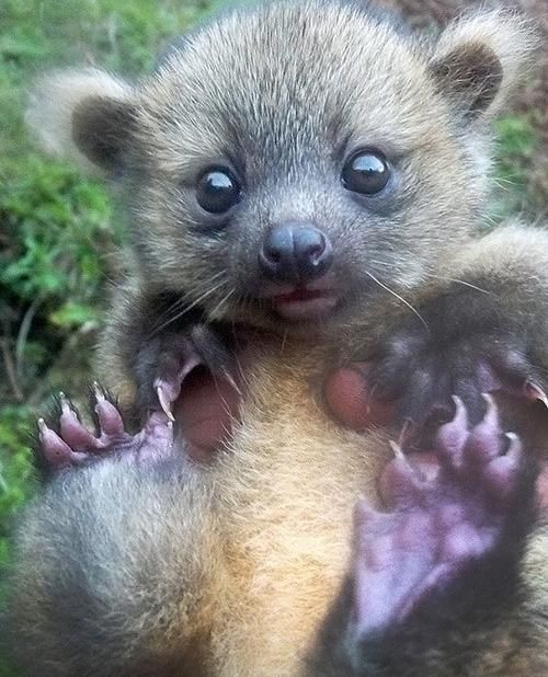 Baby Olinguito (Recently Discovered Species!)