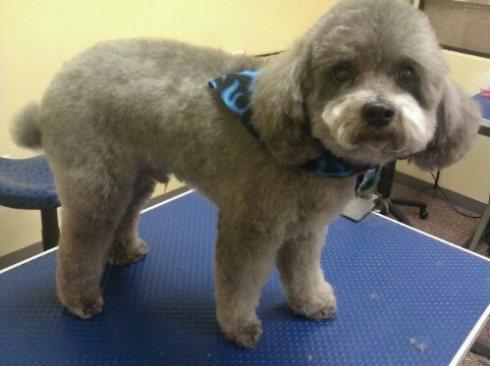 Poodle teddy bear cut | Pet lover | Pinterest | Poodle ...