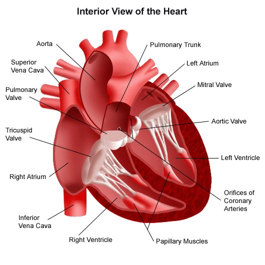 The 22 best general knowledge of anatomy of cardiovascular system human body heart and lungs ccuart