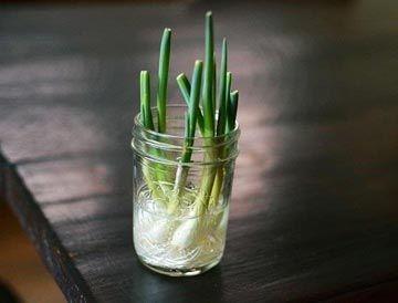 Cebollas de Cambray En tan poco como cinco días puedes volver a crecer una cebolla de cambray entera. Deja tres centímetros de cebolla unida a las raíces y colócalas en un pequeño vaso con un poco de agua. En pocos días, tendrás cebollas de Cambray.