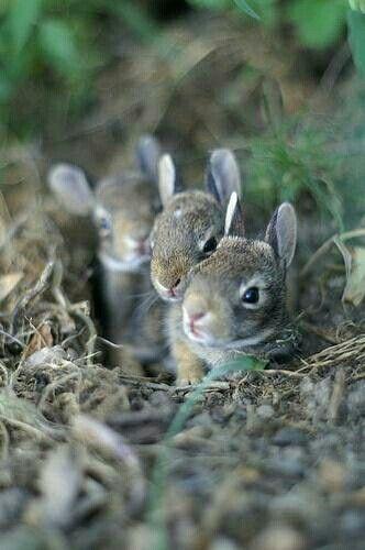 Baby bunnies in nest