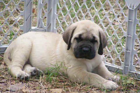 english mastiff puppies - Google Search