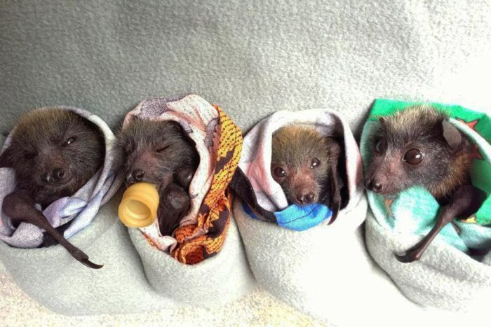 Orphaned fruit bats - Some things you may not know about fantastic flying foxes
