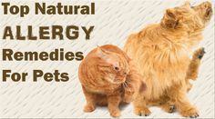 A comprehensive guide to the natural treatment of allergies in dogs and cats, including supplements, herbs and dietary recommendations.