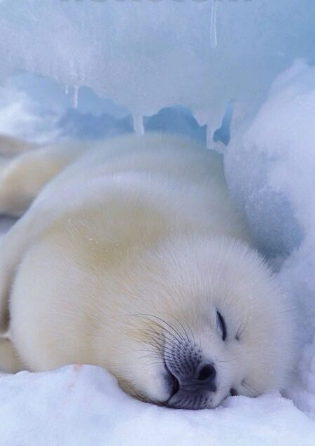 cuteness of arctic seal having siesta! ; ) (so sound asleep, so innocent, let's not as humans melt his ice & destroy his/her god damn cuteness : )