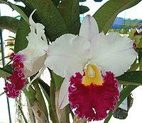 Kasem Boonchoo Orchid Nursery, Tailândia - Orquídeas (Dendrobium, Cattleya, Oncidium, Ascocenda, Vanda, Aranda, Mokara, espécies tailandesas) e viveiro de flores e plantas tropicais produtor e exportador