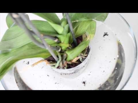 Полив орхидеи, основные правила - YouTube