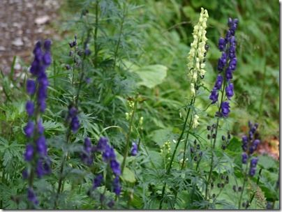 Poisonous Plants: Morning Glory (Ipomoea) Lupin, Aconite (Monks Hood or Wolfs Bane).  Aconite is a well-known poison, but did you know that those beautiful flowering plants, Morning Glory and Lupin are also poisonous plants?