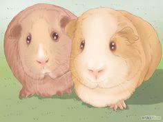 Aprende a cuidar conejillos de Indias vía es.wikihow.com