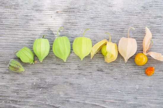 What is the Cape Gooseberry? Understand this delicious, easy-to-grow South American golden fruit with many names, many benefits, and many uses.
