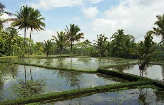 Travel With MWT The Wolf: Most Beautiful Pictures of Mwt  Rice Field in Bali...