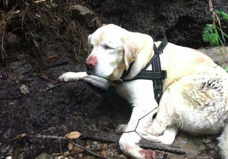 Uma cadela cega que sumiu de sua casa há uma semana, finalmente foi encontrada vagando sozinha pelas montanhas da Califórnia, nos Estados Unidos.