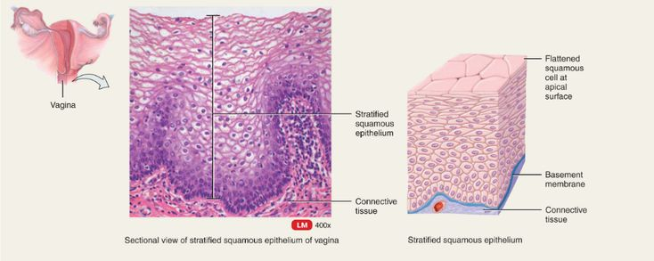 Classification of cell types in vaginal smears during the canine oestrous cycle