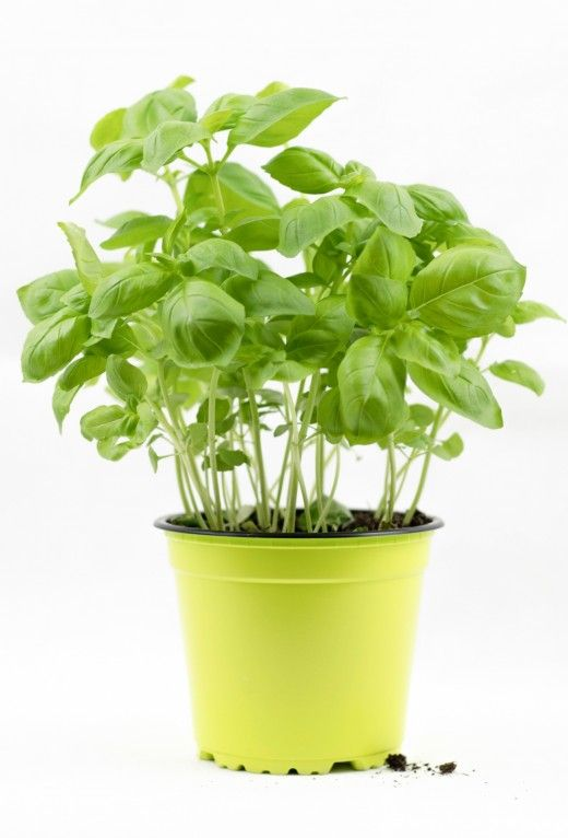 How to Grow Basil Indoors From Seed