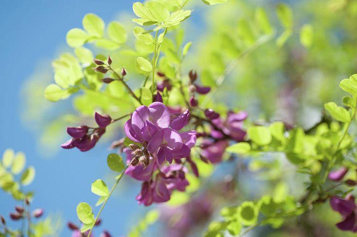 Bloom Of Purple Acacia Tree by Jenny Rainbow