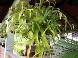 Platicero o Cuerno - Polipodiaceae - Platycerium bifurcatum  #DeCaliSeHablaBien