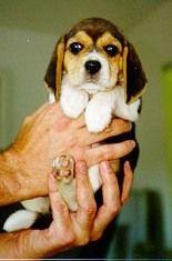Beagle breeder in Bradenton, FL