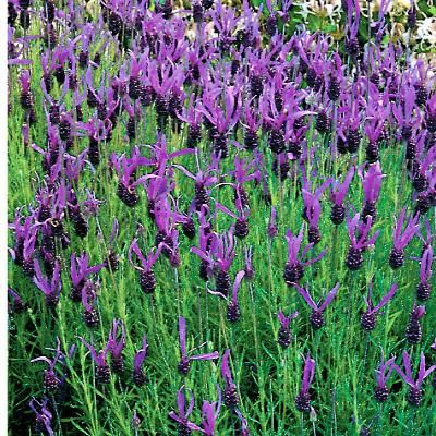 New Lavender French Long, also known as Spanish lavender, has a heavenly scent and brighter purple flowers on a bushier plant than other lavenders! Description from seedratings.com. I searched for this on bing.com/images