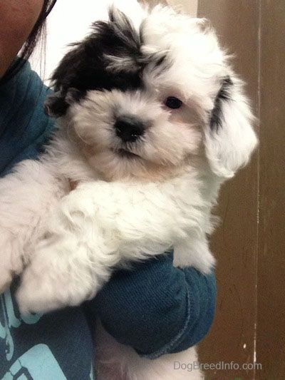 Zuchon Puppy Bishon Frise Shih Tzu Mix Not Gonna