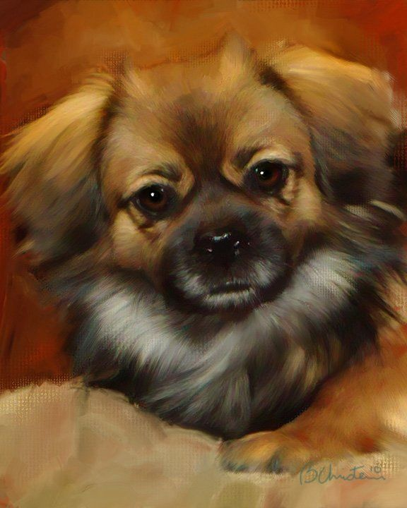 Tibetan Spaniel Dog wonderful do I had one used to beat up my 130 german shepherds they were breed to take down lions and boy they never forgot it