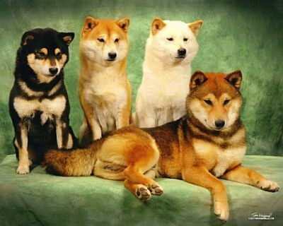 These are the different types of Shibas