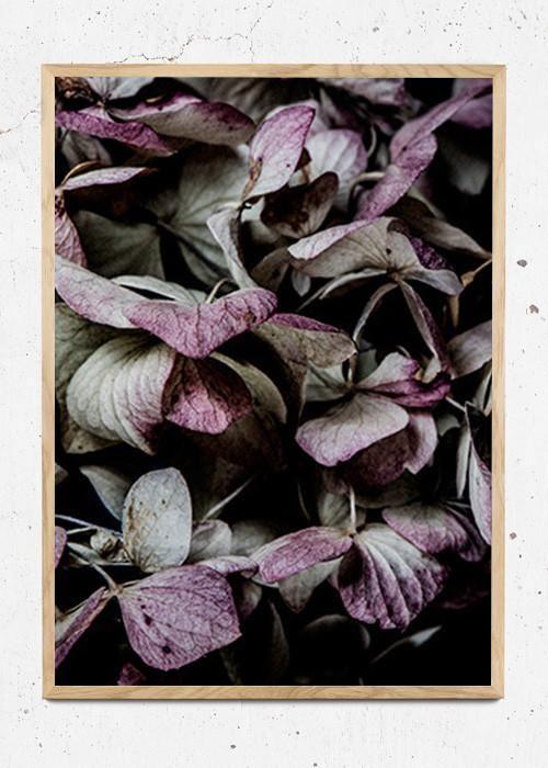 Hydrangea fra Martin Moore