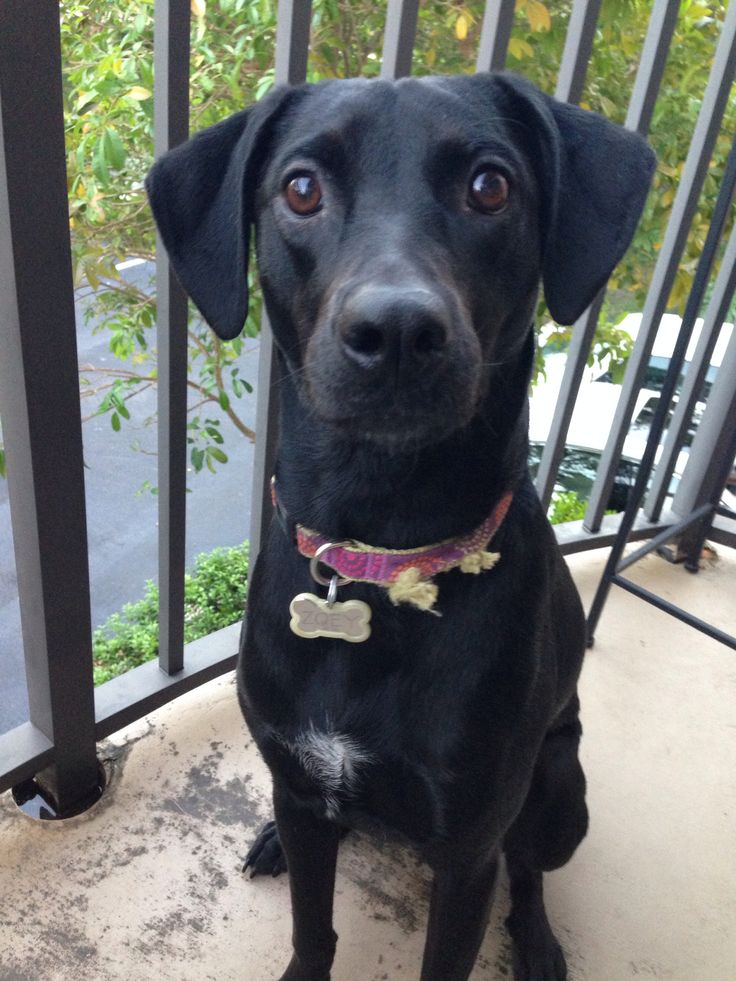 Black lab whippet mix
