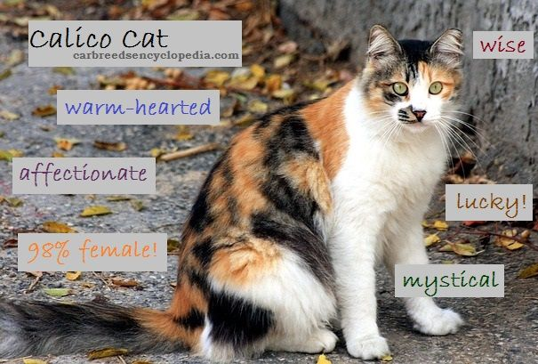 The Calico cat is not a breed - it's a color, but they do tend to have very specific personalities..