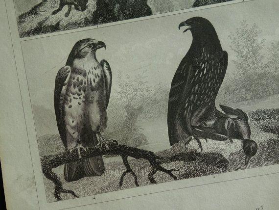 160 years old bird print original antique by DecorativePrints