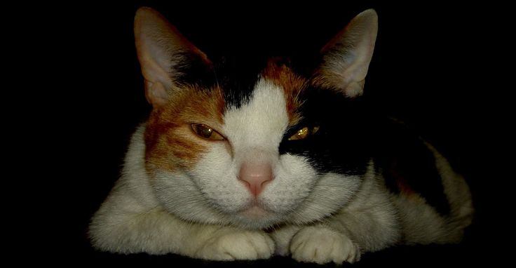 My sweet calico cat Bonney posed in black, which I'd edited for a Google Chrome Theme. :)