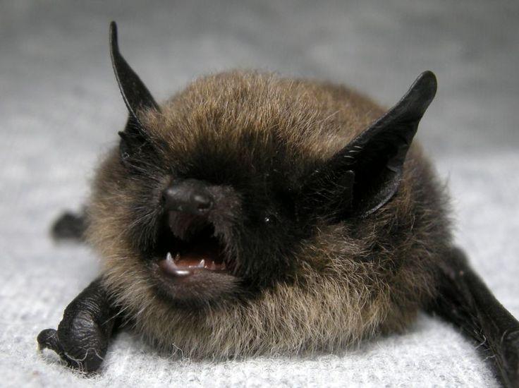 "Whiskered bat - Myotis mystacinus. I picture him saying ""gooooooooooooooooooooooo awayyyyyyyyyyyy!!!"" awwww"