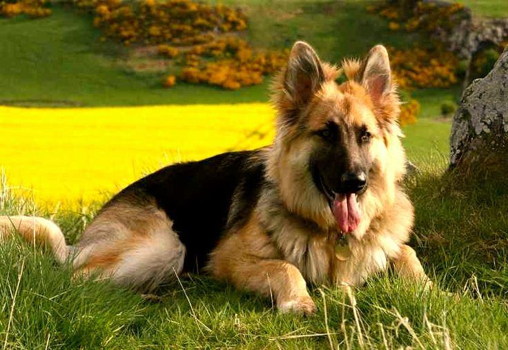 pastor aleman, características de un gran perro   Razas de perros