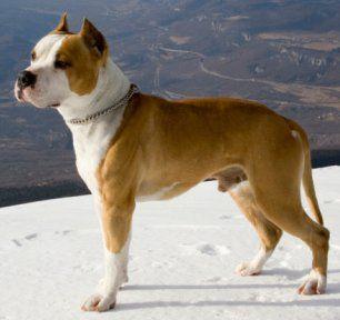 American Staffordshire Terrier - so pretty.
