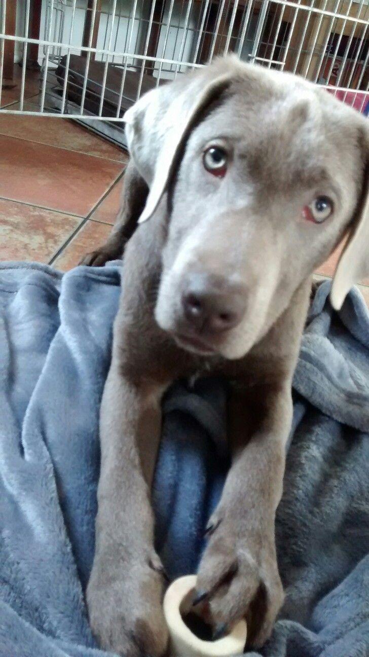 Sieb,onze grijze labrador.
