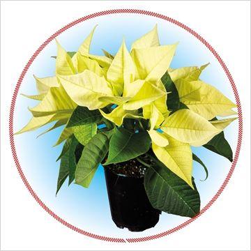 Euph.Christmas Beauty Lime vertakt