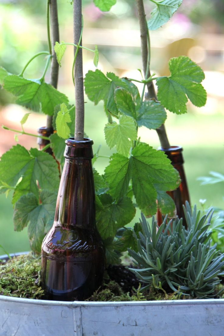 hgtv outdoor gardens | We added a beer bottle trellis to give the Hops a place to climb.