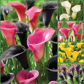 Stylish Summer Calla Lilies Collection