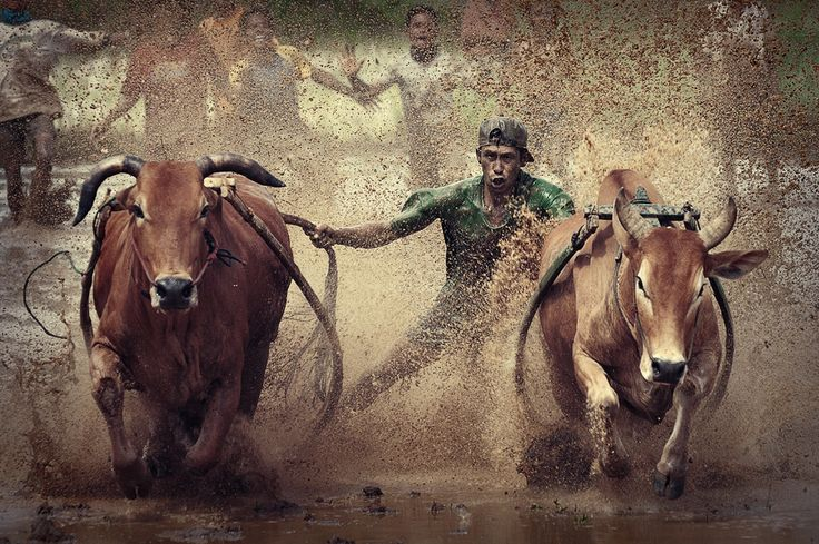 Pacu Jawi is the tradition of the cow race by the Minang community in West Sumatra, Indonesia
