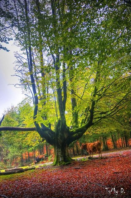 Hayedo de Otzarreta  Forest, Bizkaia, Spain