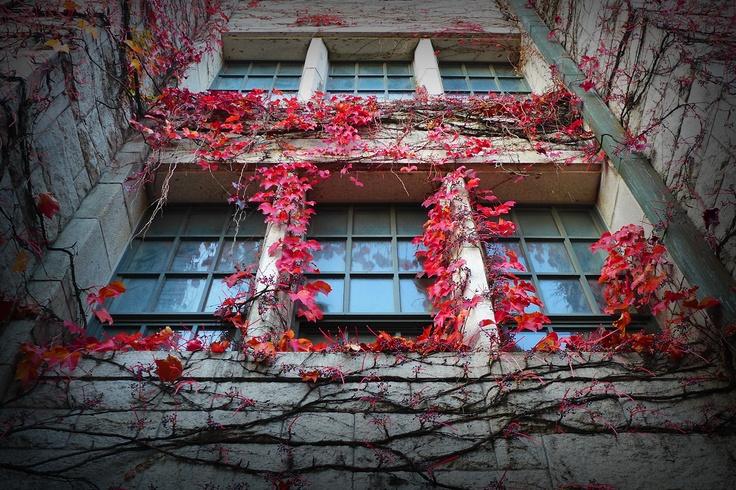 Ivy leaves of autumn, Welch-Ryang Auditorium, Ewha Univ. Seoul, Korea