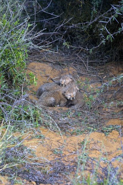We are VERY happy to announce that four cheetah cubs have been born at Inverdoorn Game Reserve.