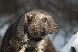 rosomák - Bing images