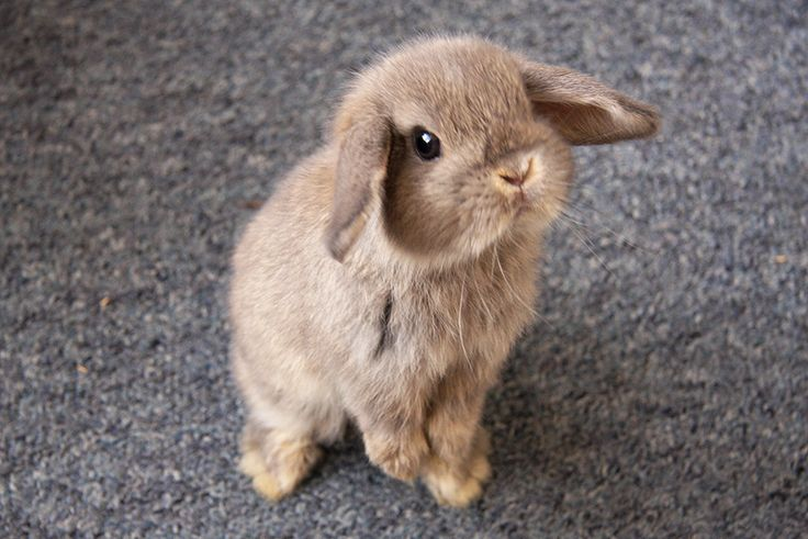 My bunny little holland lop stands just like this and it's the cutest thing ever. ♡