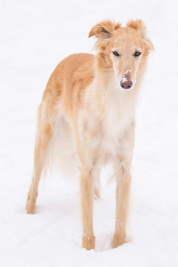 golden juvenile silken windhound  (breed developed from borzoi and whippet ancestry: borzoi appearance and whippet size)