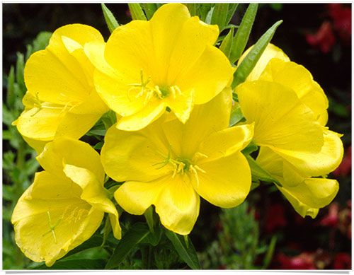Roles and Benefits of Evening Primrose Oil in PMS relief: effective for menstrual cramps, period pain, acne, anxiety, mood swings, headaches, irregular periods and heavy menstrual periods.
