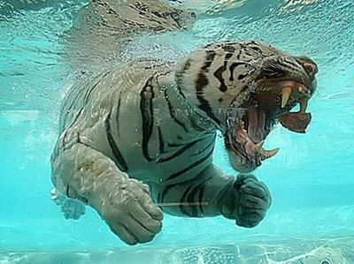 Whoa..Tiger swimming.