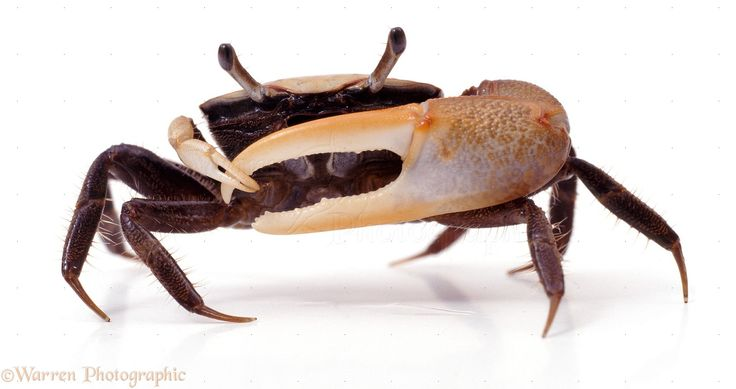 """Types Of Crabs – There are about 850 types of crabs that are found throughout tropical and semi-tropical regions. True crabs typically have quite a short projecting """"tail"""" and the reduced abdomen is hidden entirely under the thorax."""